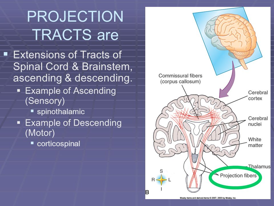 PROJECTION TRACTS are Extensions of Tracts of Spinal Cord & Brainstem, ascending & descending. Example of Ascending (Sensory)