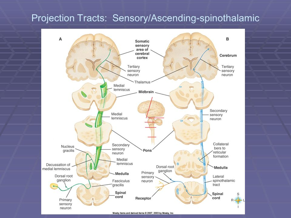 Projection Tracts: Sensory/Ascending-spinothalamic