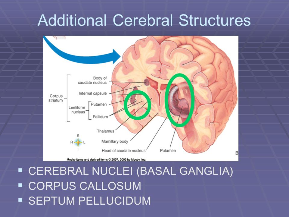 Additional Cerebral Structures