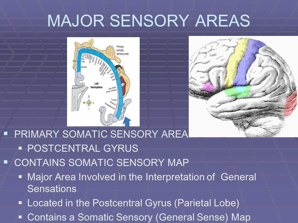 MAJOR SENSORY AREAS PRIMARY SOMATIC SENSORY AREA POSTCENTRAL GYRUS