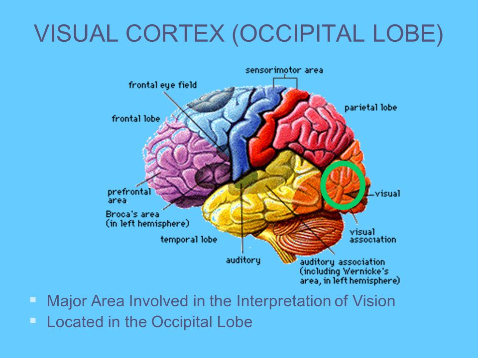 VISUAL CORTEX (OCCIPITAL LOBE)
