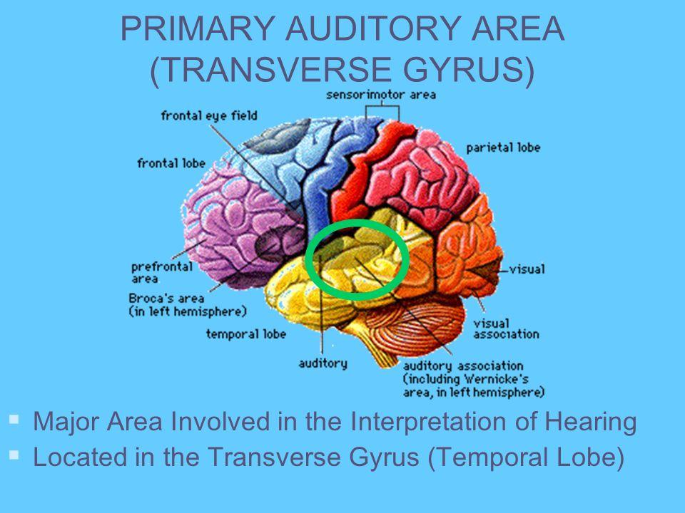 PRIMARY AUDITORY AREA (TRANSVERSE GYRUS)