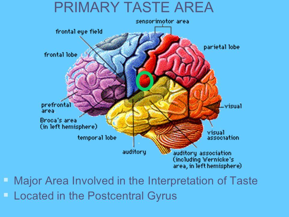 PRIMARY TASTE AREA Major Area Involved in the Interpretation of Taste