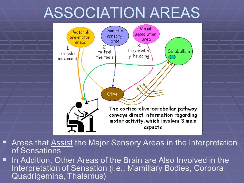 ASSOCIATION AREAS Areas that Assist the Major Sensory Areas in the Interpretation of Sensations.