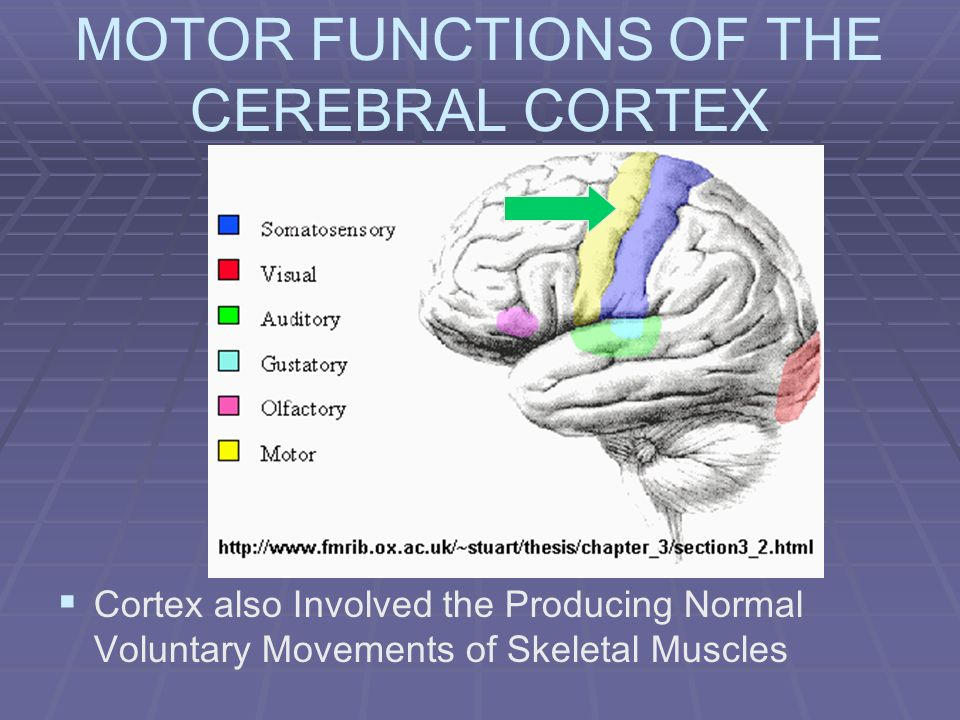 MOTOR FUNCTIONS OF THE CEREBRAL CORTEX