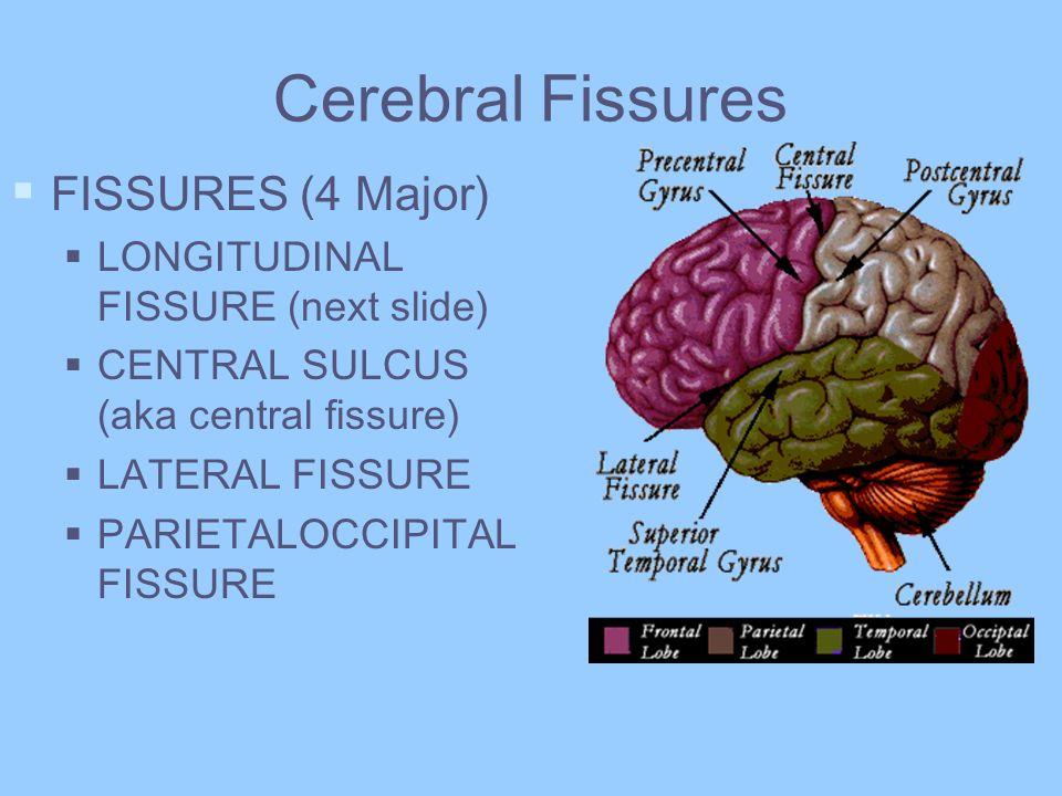Cerebral Fissures FISSURES (4 Major) LONGITUDINAL FISSURE (next slide)