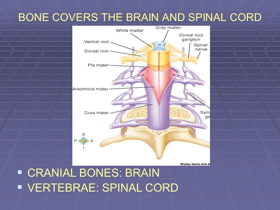 BONE COVERS THE BRAIN AND SPINAL CORD