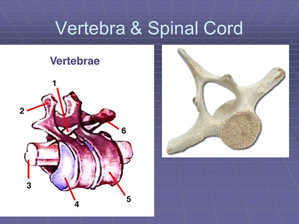 Vertebra & Spinal Cord