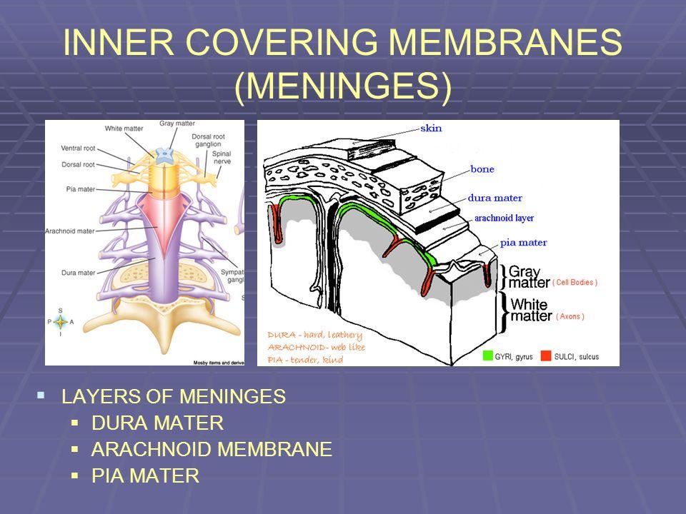 INNER COVERING MEMBRANES (MENINGES)
