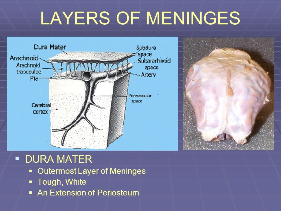 LAYERS OF MENINGES DURA MATER Outermost Layer of Meninges Tough, White