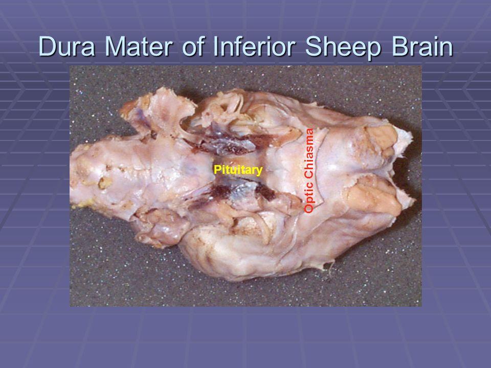 Dura Mater of Inferior Sheep Brain