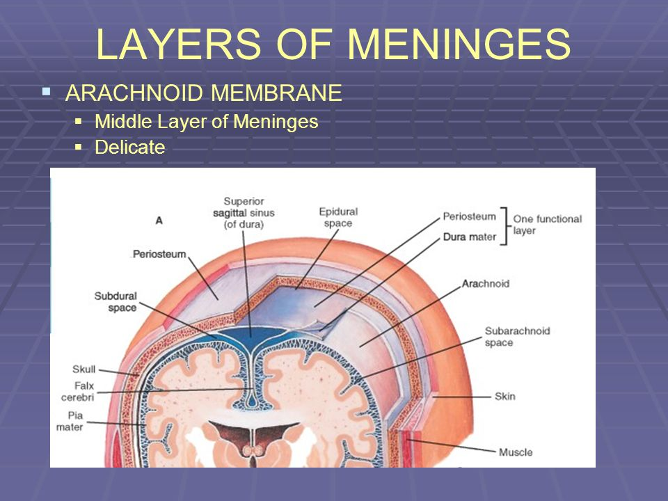 LAYERS OF MENINGES ARACHNOID MEMBRANE Middle Layer of Meninges