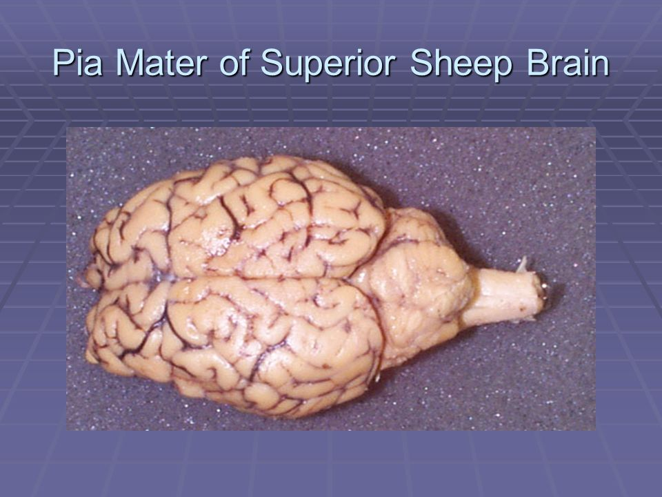 Pia Mater of Superior Sheep Brain