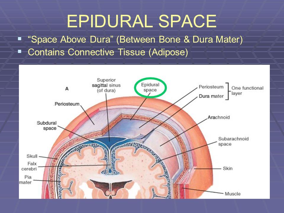 EPIDURAL SPACE Space Above Dura (Between Bone & Dura Mater)