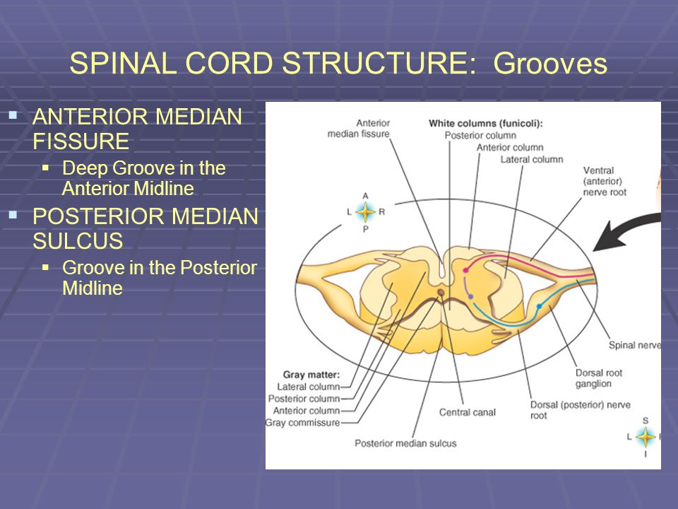 SPINAL CORD STRUCTURE: Grooves