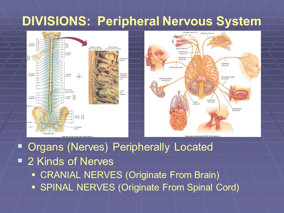 DIVISIONS: Peripheral Nervous System