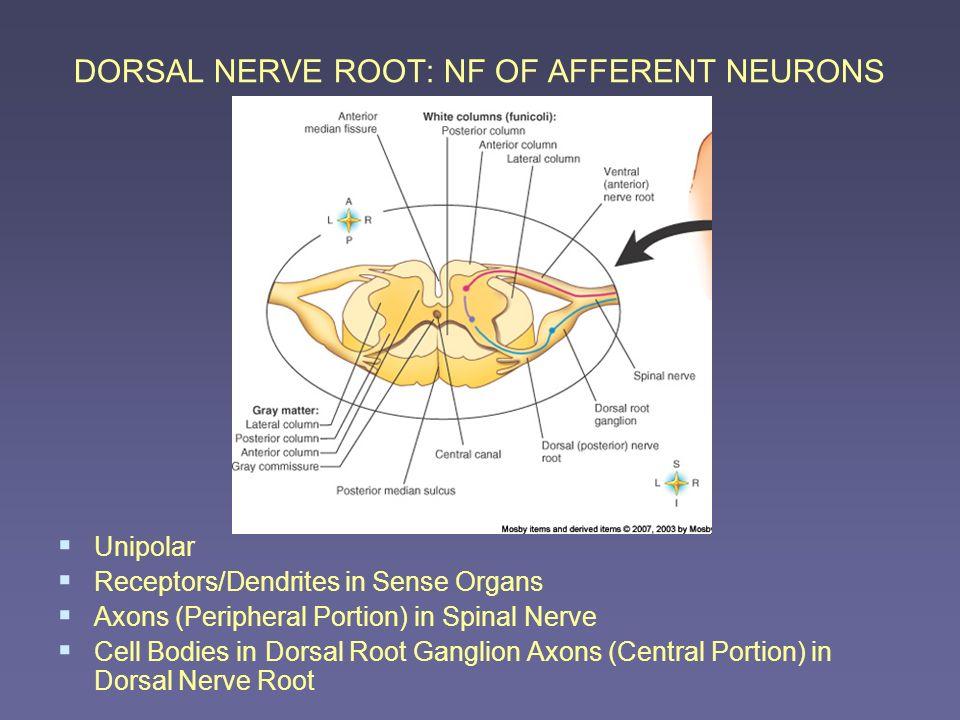 DORSAL NERVE ROOT: NF OF AFFERENT NEURONS