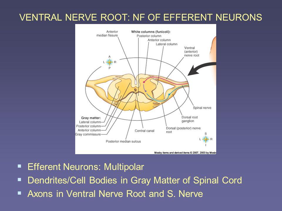 VENTRAL NERVE ROOT: NF OF EFFERENT NEURONS