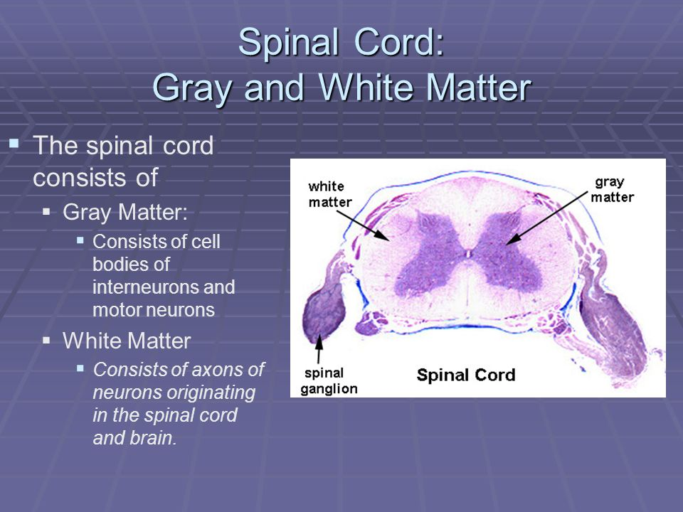 Spinal Cord: Gray and White Matter