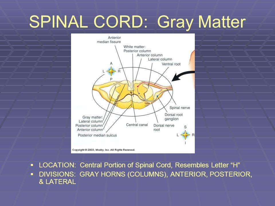 SPINAL CORD: Gray Matter