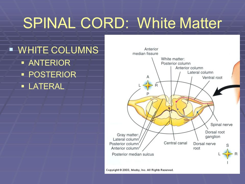 SPINAL CORD: White Matter