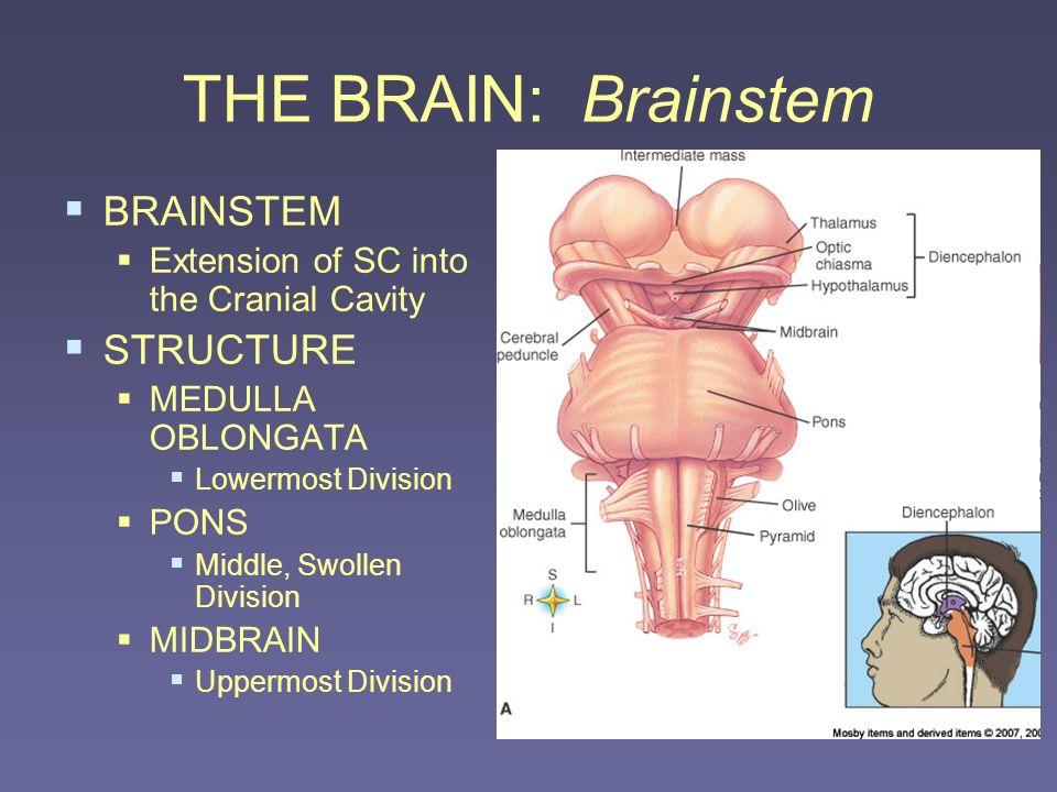 THE BRAIN: Brainstem BRAINSTEM STRUCTURE