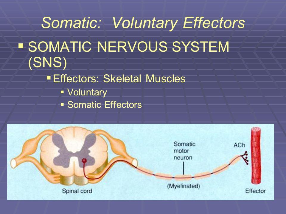 Somatic: Voluntary Effectors