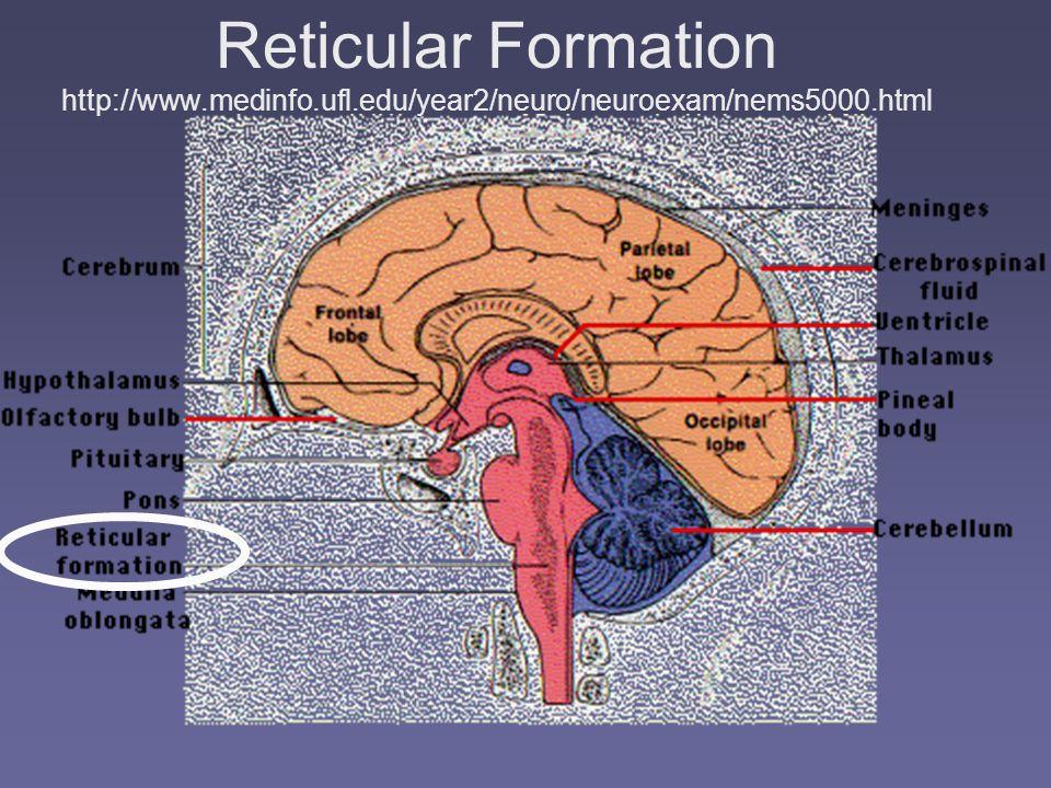 Reticular Formation http://www. medinfo. ufl