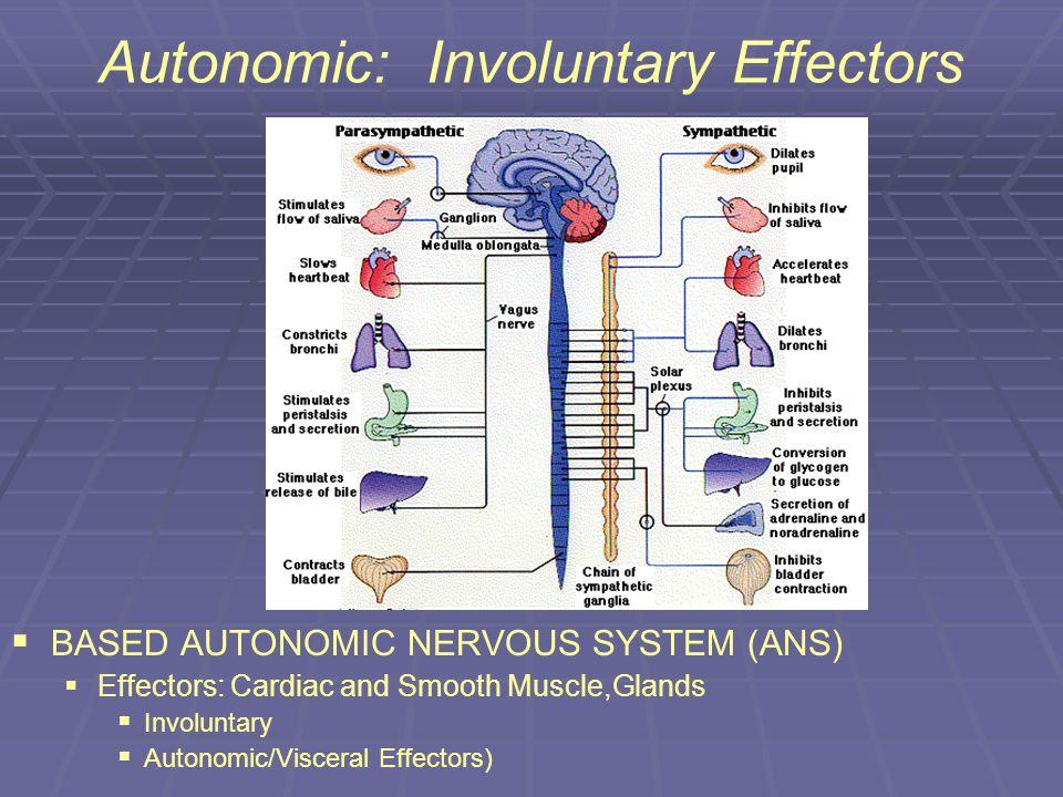 Autonomic: Involuntary Effectors