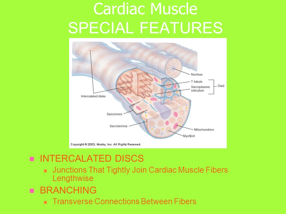 Cardiac Muscle SPECIAL FEATURES