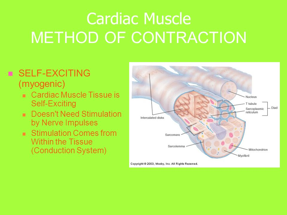 Cardiac Muscle METHOD OF CONTRACTION