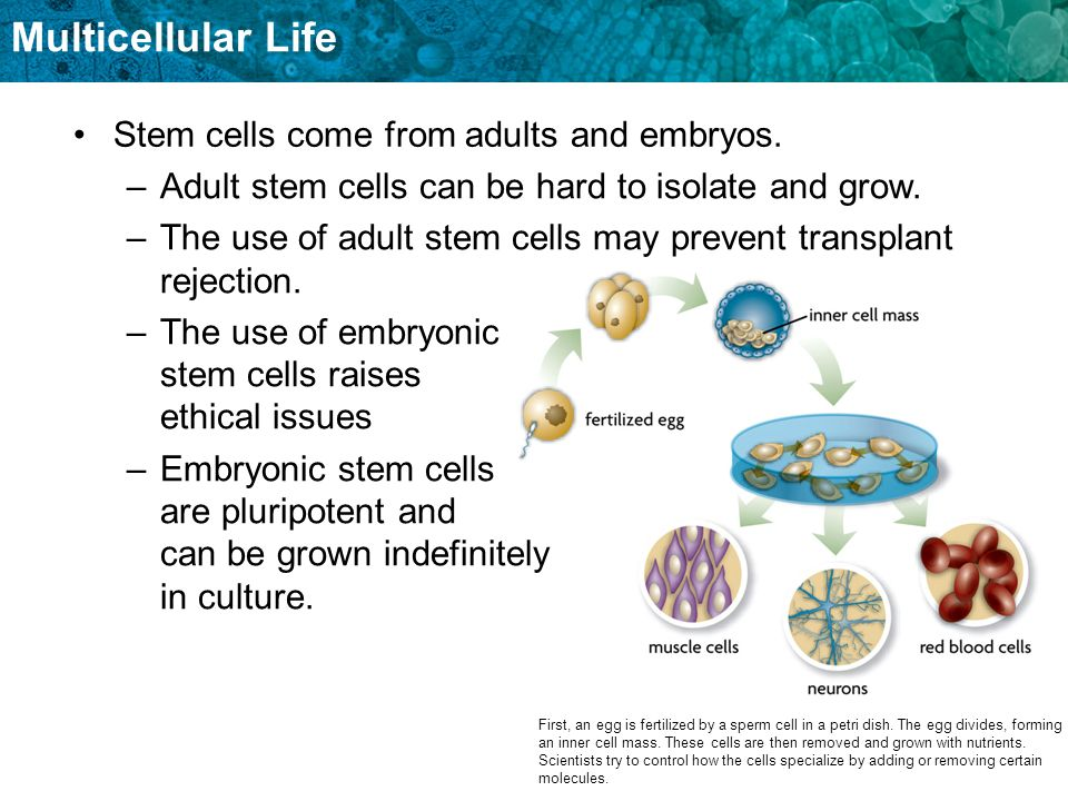 Stem cells come from adults and embryos.