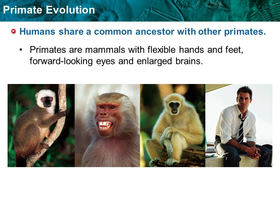 Humans share a common ancestor with other primates.
