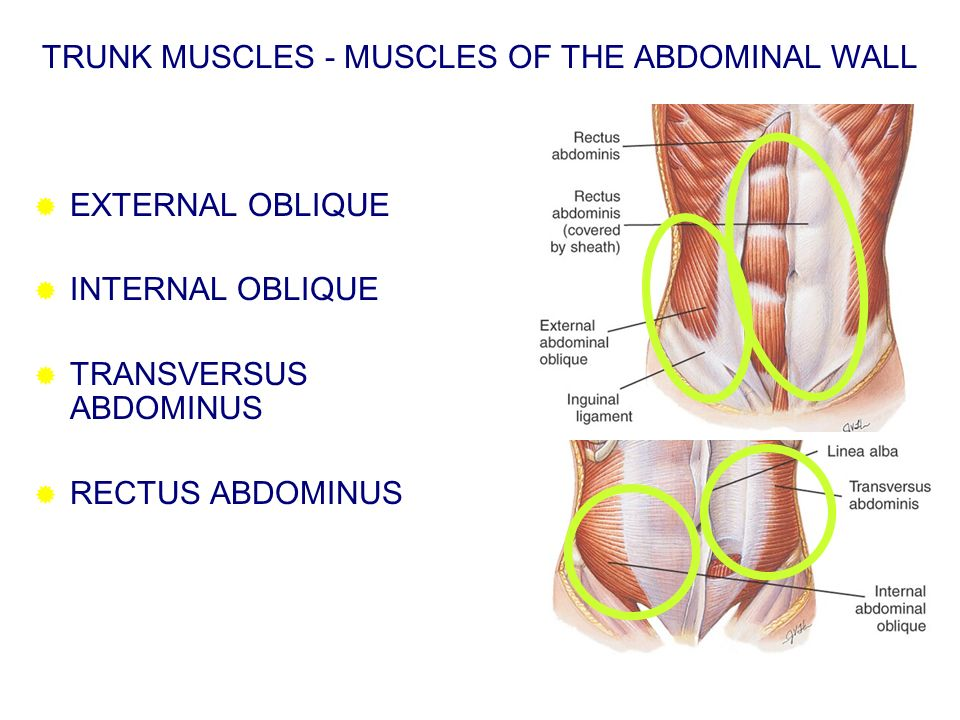 TRUNK MUSCLES - MUSCLES OF THE ABDOMINAL WALL