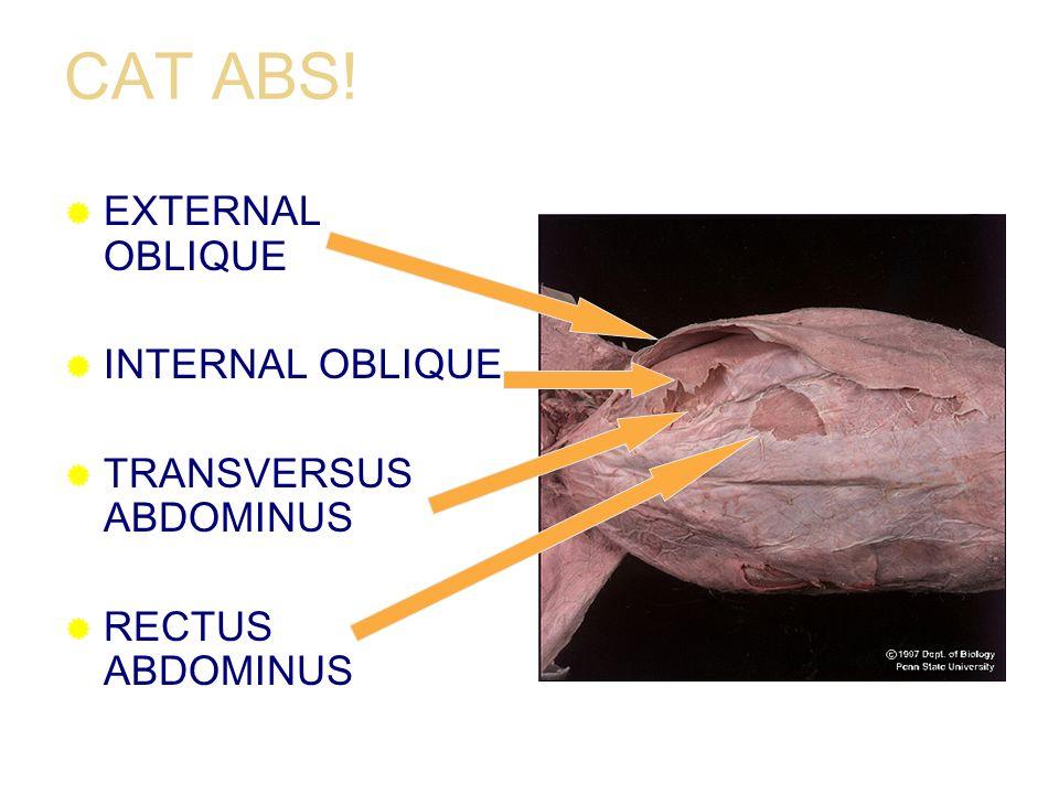 CAT ABS! EXTERNAL OBLIQUE INTERNAL OBLIQUE TRANSVERSUS ABDOMINUS