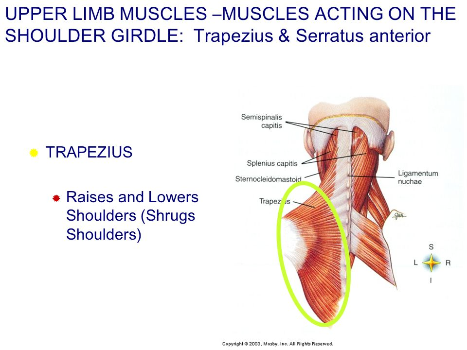UPPER LIMB MUSCLES –MUSCLES ACTING ON THE SHOULDER GIRDLE: Trapezius & Serratus anterior