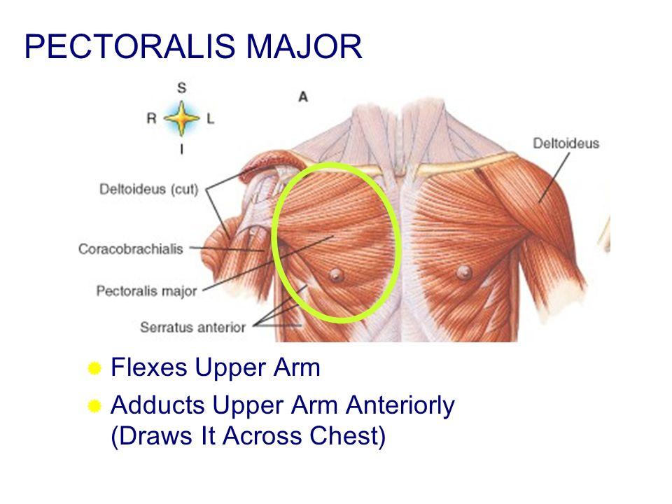 PECTORALIS MAJOR Flexes Upper Arm