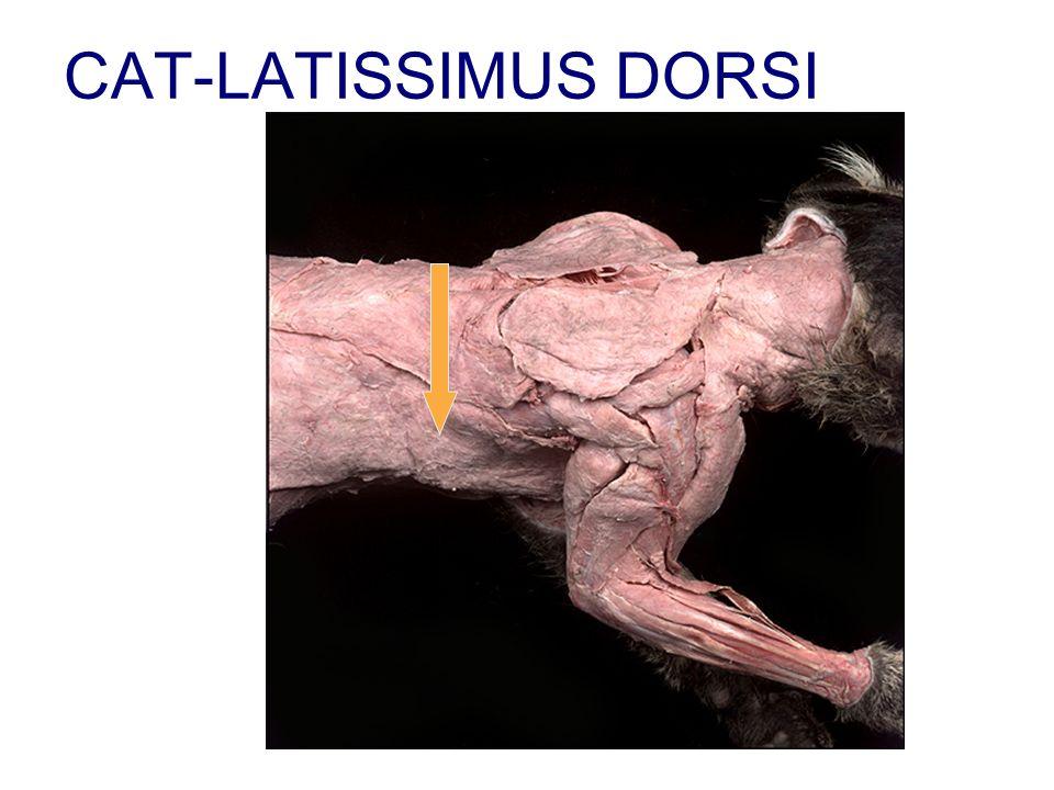 CAT-LATISSIMUS DORSI