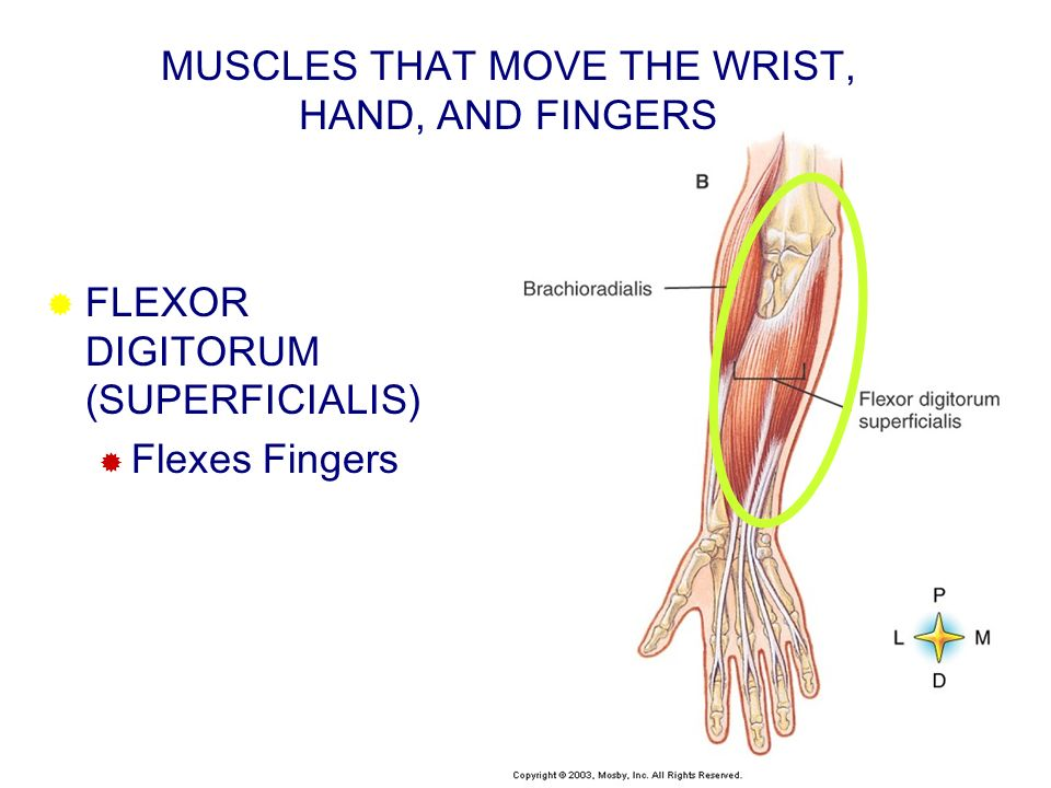 MUSCLES THAT MOVE THE WRIST, HAND, AND FINGERS