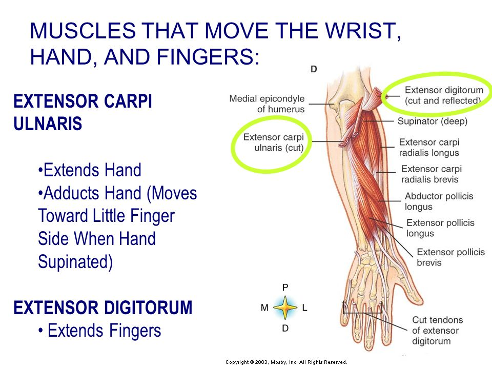 MUSCLES THAT MOVE THE WRIST, HAND, AND FINGERS: