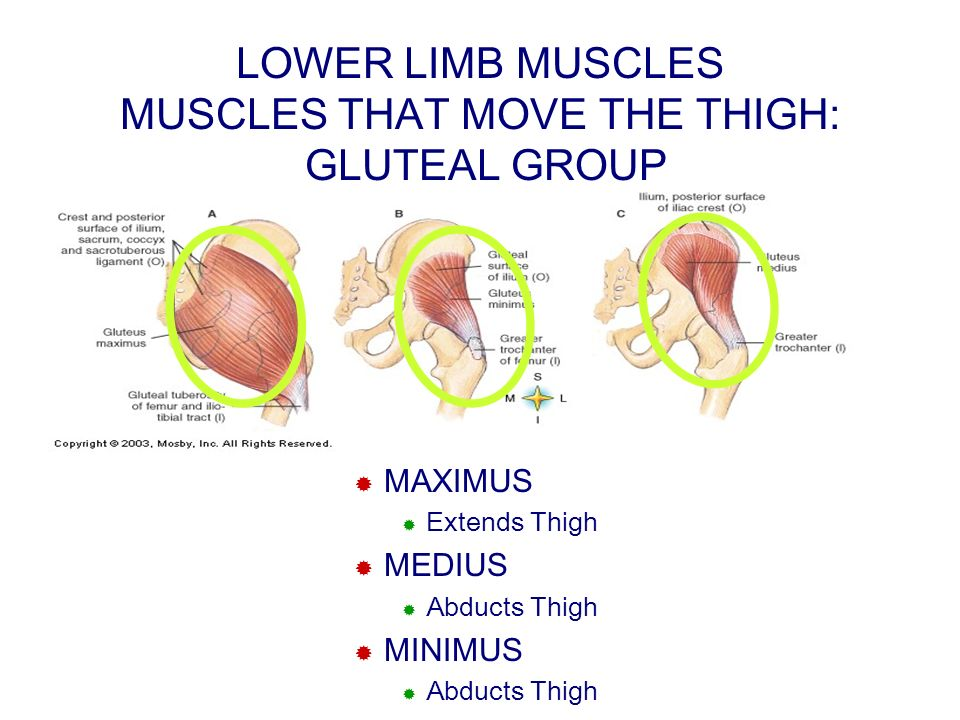 LOWER LIMB MUSCLES MUSCLES THAT MOVE THE THIGH: GLUTEAL GROUP