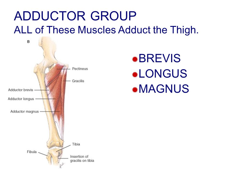 ADDUCTOR GROUP ALL of These Muscles Adduct the Thigh.