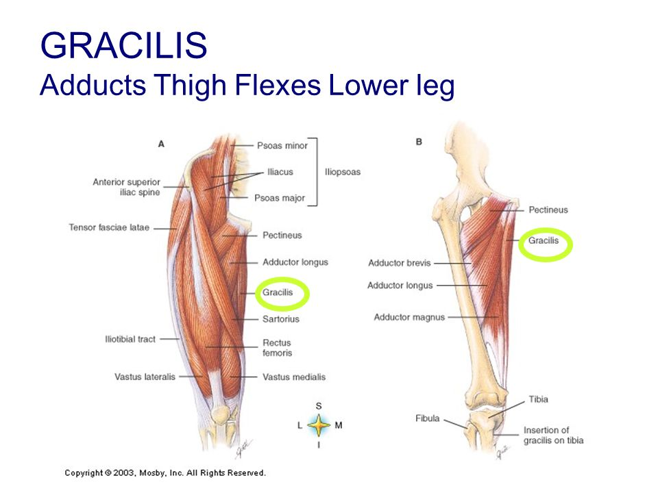GRACILIS Adducts Thigh Flexes Lower leg