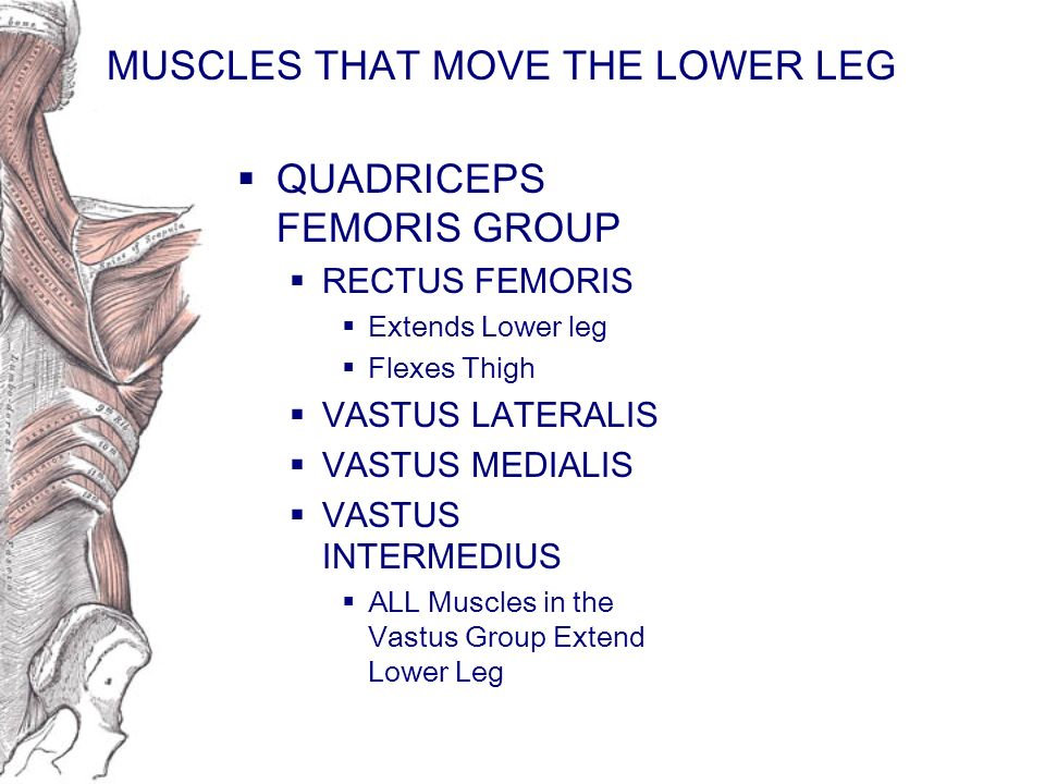 MUSCLES THAT MOVE THE LOWER LEG