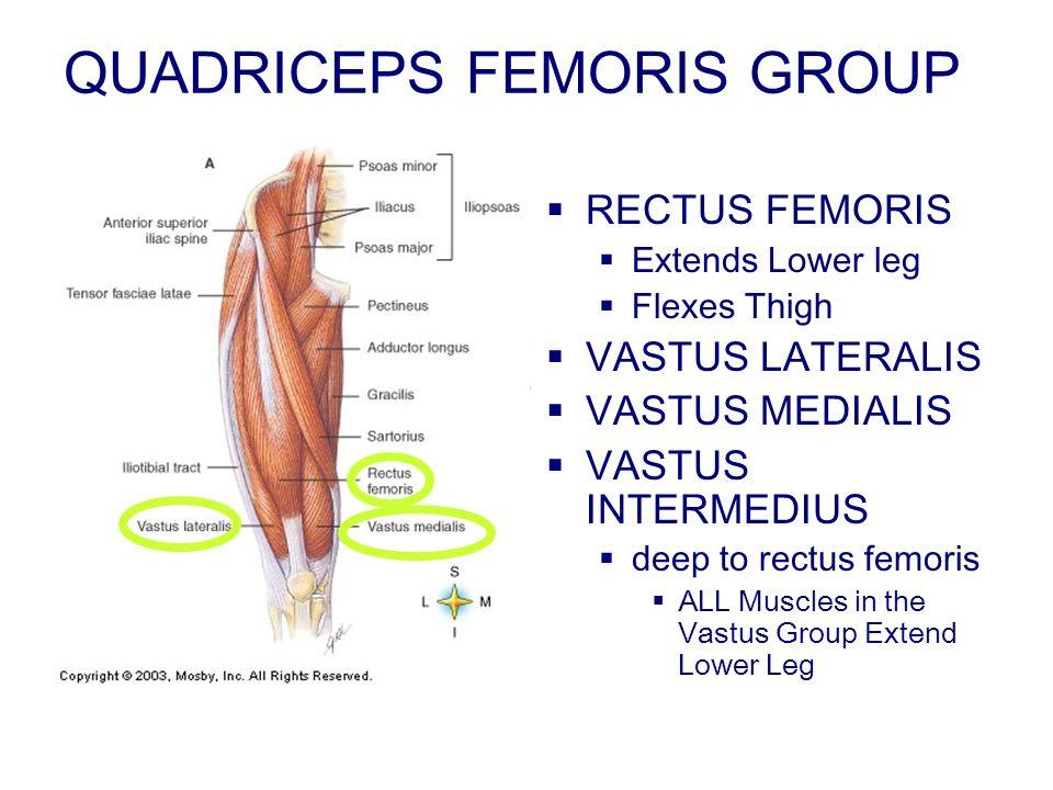 QUADRICEPS FEMORIS GROUP