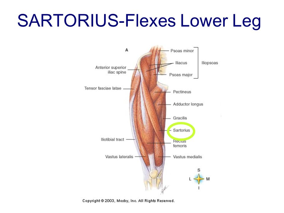 SARTORIUS-Flexes Lower Leg