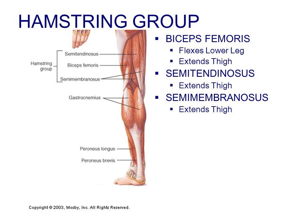 HAMSTRING GROUP BICEPS FEMORIS SEMITENDINOSUS SEMIMEMBRANOSUS
