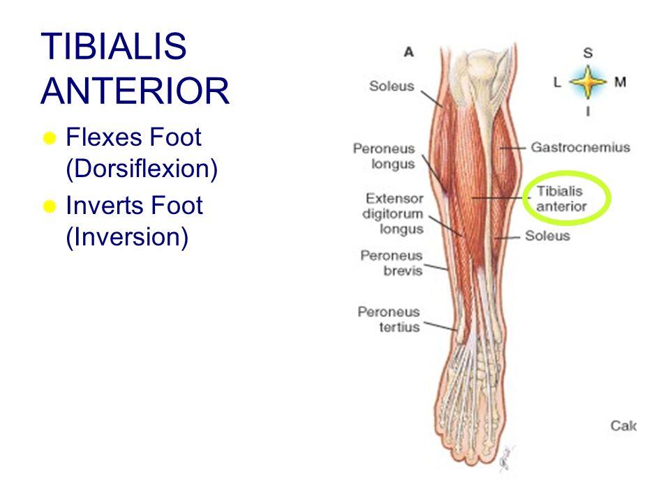 TIBIALIS ANTERIOR Flexes Foot (Dorsiflexion) Inverts Foot (Inversion)