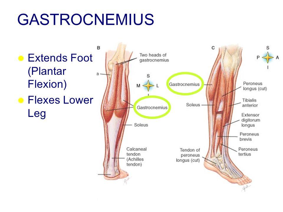 GASTROCNEMIUS Extends Foot (Plantar Flexion) Flexes Lower Leg