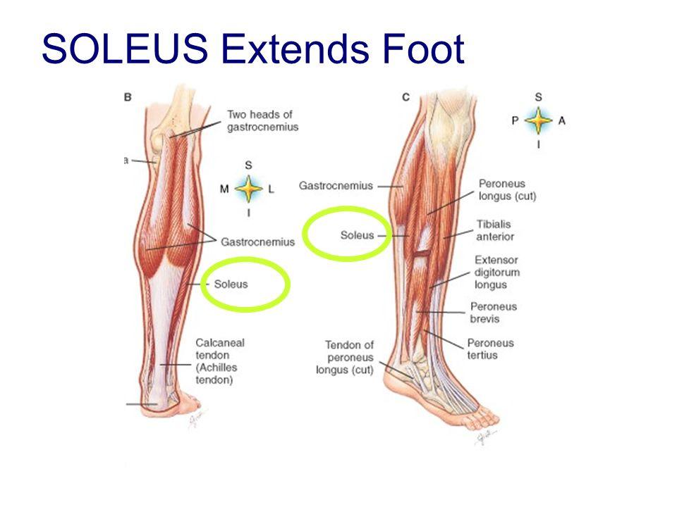 SOLEUS Extends Foot